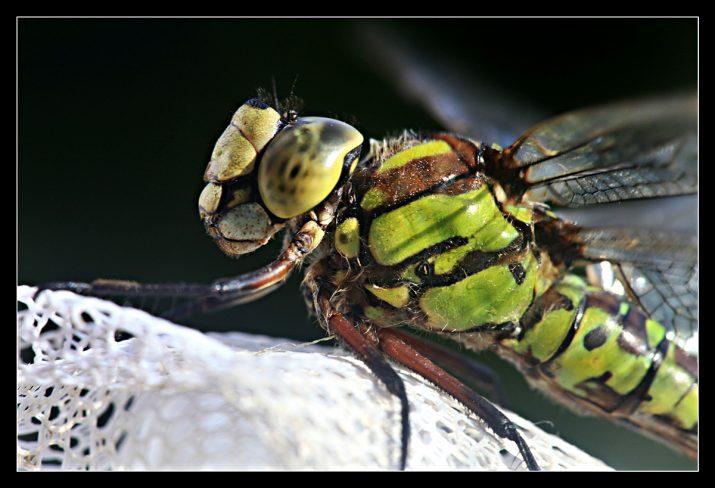 vážka z profilu