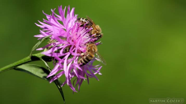 Když se řekne... pinlý jako včela :)